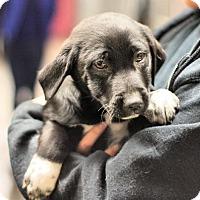 Adopt A Pet :: Lab / Heeler mixes! - Danbury, CT