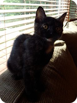 Domestic Mediumhair Cat for adoption in Naperville, Illinois - Fannie