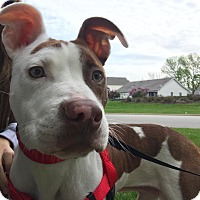 Adopt A Pet :: Chip - Wheaton, IL