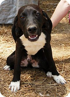 Beagle Mix Dog for adoption in Hagerstown, Maryland - Goober