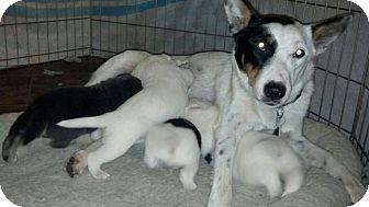 Blue Heeler/Terrier (Unknown Type, Medium) Mix Dog for adoption in Marietta, Georgia - Cricket