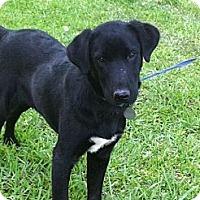 Adopt A Pet :: Little Fritter - Baton Rouge, LA