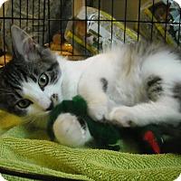 Adopt A Pet :: Percy-Fluffy Fun Kitten! - Arlington, VA