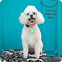 Adopt A Pet :: Princess Buttercup Baby - Shawnee Mission, KS