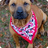Pit Bull Terrier/American Pit Bull Terrier Mix Dog for adoption in Staunton, Virginia - Lilo
