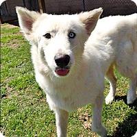 Adopt A Pet :: Kahlua - Carrollton, TX