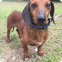 Adopt A Pet :: Dandy Don in Texarkana, TX - Texarkana, TX