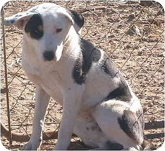 Akita/Border Collie Mix Dog for adoption in Anton, Texas - Petey