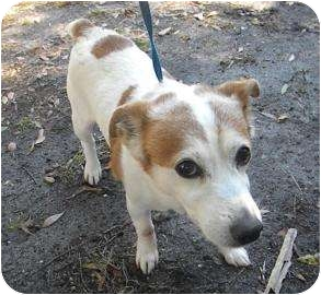 Jack Russell Terrier Mix Dog for adoption in Gainesville, Florida - Spuds