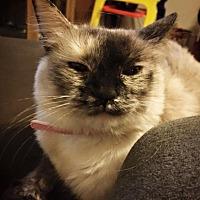 Siamese Cat for adoption in Ridgecrest, California - Sasha