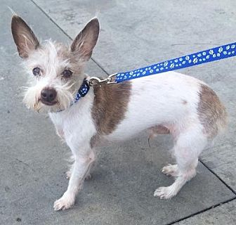 Terrier (Unknown Type, Small)/Chinese Crested Mix Dog for adoption in Temecula, California - Tucker