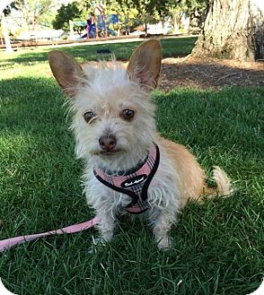 Terrier (Unknown Type, Small) Mix Dog for adoption in Livermore, California - Blanche