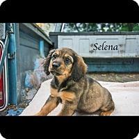 Adopt A Pet :: Selena - West Hartford, CT