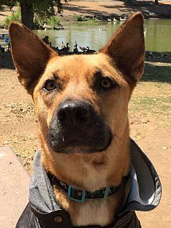 Akita/Shepherd (Unknown Type) Mix Dog for adoption in El Cajon, California - Scooby