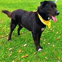 Flat-Coated Retriever/Labrador Retriever Mix Dog for adoption in Huntington, New York - Niko - N