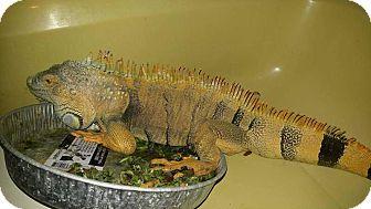 Iguana for adoption in Aurora, Illinois - Big Boy