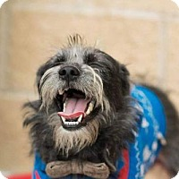 Standard Schnauzer Mix Dog for adoption in Houston, Texas - Norman