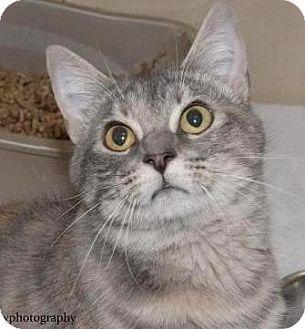 Domestic Mediumhair Cat for adoption in Lincolnton, North Carolina - Miranda $20