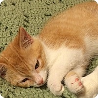 Adopt A Pet :: Garfield - Tampa, FL