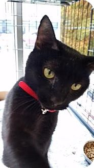 Domestic Shorthair Cat for adoption in New York, New York - Cutie