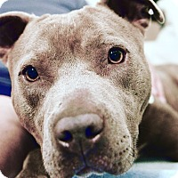 Adopt A Pet :: Honey - Culver City, CA
