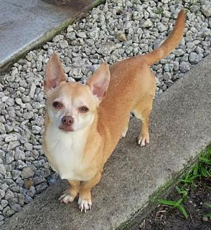 Chihuahua/Dachshund Mix Dog for adoption in Pompano Beach, Florida - George