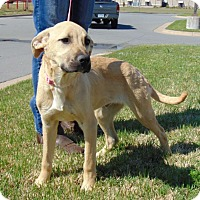 Adopt A Pet :: Boscoe - Somers, CT