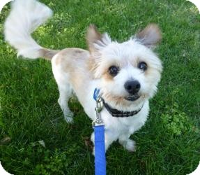 Maltese Mix Dog for adoption in Sacramento, California - Chance