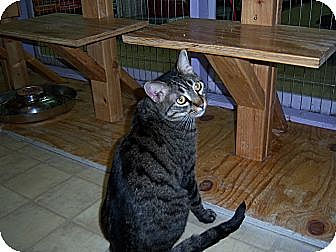 Domestic Shorthair Cat for adoption in Whittier, California - Lucy