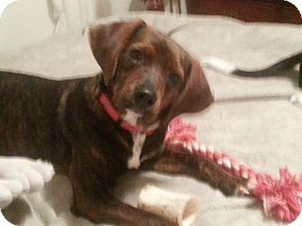 Beagle/Plott Hound Mix Puppy for adoption in Richmond, Virginia - Jackson