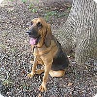 Adopt A Pet :: Clarabelle - Eden, NC