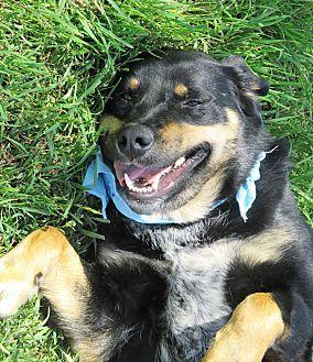 Labrador Retriever/Rottweiler Mix Dog for adoption in Godley, Texas - Jed