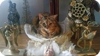 Domestic Shorthair Cat for adoption in Livonia, Michigan - Sister