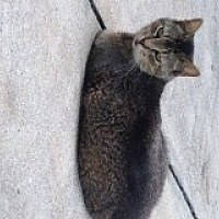 Abyssinian Cat for adoption in Naples, Florida - Juliana