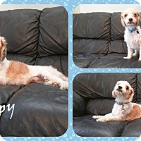 Adopt A Pet :: Scrappy - DOVER, OH