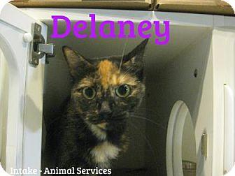 Domestic Shorthair Cat for adoption in Hamilton, Ontario - Delaney