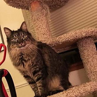 Maine Coon Cat for adoption in Oakland, California - Sweetpea [CP]