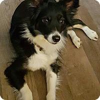 Adopt A Pet :: Balla-Adoption pending - Bridgeton, MO