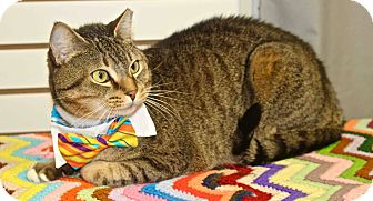 Domestic Shorthair Cat for adoption in Lansing, Kansas - Rocky