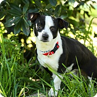 Adopt A Pet :: Sawyer - Auburn, CA