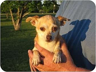 Chihuahua Dog for adoption in Greenville, Rhode Island - Tia