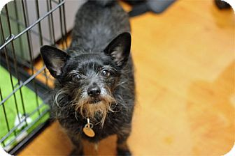 Terrier (Unknown Type, Small) Mix Dog for adoption in Chicago, Illinois - Timon