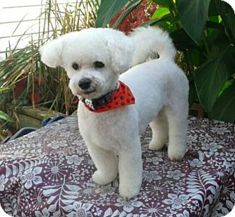 Bichon Frise Dog for adoption in Mississauga, Ontario - Theo