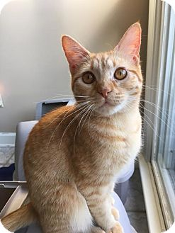 Domestic Shorthair Cat for adoption in Olive Branch, Mississippi - Marigold
