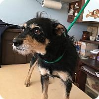 Adopt A Pet :: Miss Muffin - Eastsound, WA