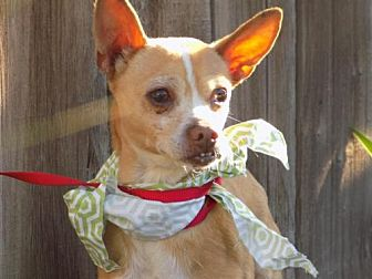 Chihuahua Dog for adoption in Apple Valley, California - Manley- in a foster!