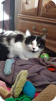 Domestic Longhair Cat for adoption in Colorado Springs, Colorado - Kiskadee