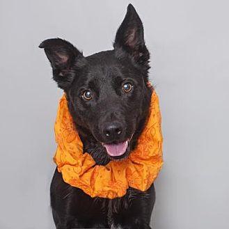 Border Collie Mix Dog for adoption in Mission Hills, California - Vito