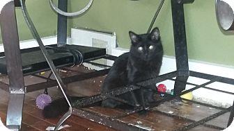 Domestic Longhair Kitten for adoption in Warren, Michigan - Jackie