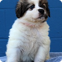 Adopt A Pet :: Gisele Adoption Pending - Waldorf, MD
